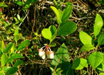 picture of Lyonia mariana, image of Lyonia mariana, photograph of Lyonia mariana
