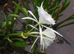picture of Hymenocallis coronaria, image of Hymenocallis coronaria, photograph of Hymenocallis occidentalis