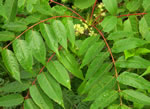 picture of Ailanthus altissima, image of Ailanthus altissima, photograph of Ailanthus altissima