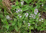 picture of Veronica officinalis, image of Veronica officinalis var. officinalis, photograph of Veronica officinalis