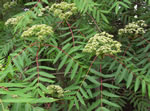 picture of Sorbus americana, image of Sorbus americana, photograph of Sorbus americana