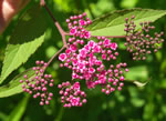 picture of Spiraea japonica, image of Spiraea japonica var. fortunei, photograph of Spiraea japonica
