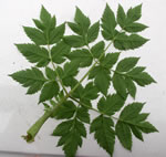picture of Angelica triquinata, image of Angelica triquinata, photograph of Angelica triquinata