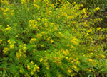picture of Hypericum galioides, image of Hypericum galioides, photograph of Hypericum galioides