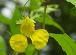 picture of Impatiens pallida, image of Impatiens pallida, photograph of Impatiens pallida