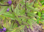 picture of Gentiana latidens, image of Gentiana saponaria var. latidens, photograph of Gentiana clausa