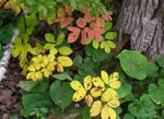 picture of Aralia nudicaulis, image of Aralia nudicaulis, photograph of Aralia nudicaulis
