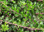 picture of Arctostaphylos uva-ursi, image of Arctostaphylos uva-ursi, photograph of -