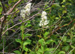 picture of Spiraea latifolia, image of Spiraea alba var. latifolia, photograph of Spiraea alba var. latifolia