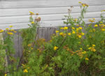 picture of Tanacetum vulgare, image of Tanacetum vulgare, photograph of Tanacetum vulgare