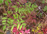 picture of Aralia hispida, image of Aralia hispida, photograph of -