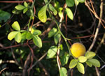 picture of Citrus trifoliata, image of Poncirus trifoliata, photograph of Poncirus trifoliata