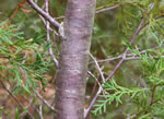 picture of Chamaecyparis thyoides, image of Chamaecyparis thyoides, photograph of Chamaecyparis thyoides