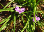 picture of Tradescantia hirsutiflora, image of Tradescantia hirsutiflora, photograph of -