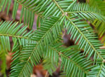 picture of Torreya taxifolia, image of Torreya taxifolia, photograph of -