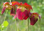 picture of Sarracenia jonesii, image of Sarracenia rubra ssp. jonesii, photograph of Sarracenia rubra