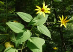 picture of Heliopsis helianthoides var. helianthoides, image of Heliopsis helianthoides var. helianthoides, photograph of Heliopsis helianthoides