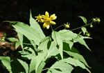 picture of Helianthus glaucophyllus, image of Helianthus glaucophyllus, photograph of Helianthus glaucophyllus
