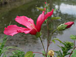 picture of Hibiscus moscheutos, image of Hibiscus moscheutos, photograph of Hibiscus moscheutos +