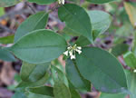 picture of -, image of Osmanthus fragrans, photograph of -