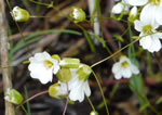 picture of Minuartia glabra, image of Minuartia glabra, photograph of Arenaria groenlandica var. glabra