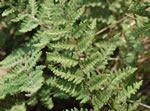 picture of Cheilanthes tomentosa, image of Cheilanthes tomentosa, photograph of Cheilanthes tomentosa
