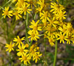 Blue Ridge Ragwort