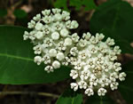 picture of Asclepias variegata, image of Asclepias variegata, photograph of Asclepias variegata