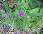 picture of Vernonia glauca, image of Vernonia glauca, photograph of Vernonia glauca