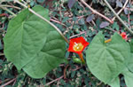 picture of Ipomoea coccinea, image of Ipomoea coccinea, photograph of Ipomoea coccinea