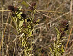 picture of Lespedeza capitata, image of Lespedeza capitata, photograph of Lespedeza capitata