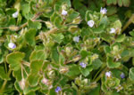 picture of Veronica hederifolia, image of Veronica hederifolia, photograph of Veronica hederaefolia