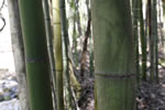 picture of Phyllostachys bambusoides, image of Phyllostachys bambusoides, photograph of -