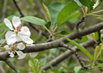 picture of Malus angustifolia, image of Malus angustifolia var. angustifolia, photograph of Malus angustifolia