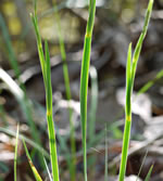 picture of Sisyrinchium albidum, image of Sisyrinchium albidum, photograph of Sisyrinchium albidum