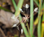 picture of Taraxacum officinale, image of Taraxacum officinale ssp. officinale, photograph of Taraxacum officinale