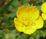 picture of Ranunculus bulbosus, image of Ranunculus bulbosus, photograph of Ranunculus bulbosus