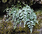 Mountain Spleenwort