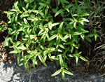 picture of Houstonia longifolia var. glabra, image of Houstonia longifolia, photograph of Houstonia longifolia