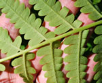 picture of Osmunda claytoniana var. claytoniana, image of Osmunda claytoniana, photograph of Osmunda claytoniana