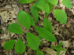 picture of Uvularia sessilifolia, image of Uvularia sessilifolia, photograph of Uvularia sessilifolia