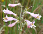 picture of Penstemon australis, image of Penstemon australis, photograph of Penstemon australis