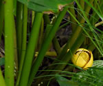 picture of Nuphar advena, image of Nuphar lutea ssp. advena, photograph of Nuphar luteum ssp. macrophyllum