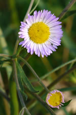 picture of Erigeron strigosus var. strigosus, image of Erigeron strigosus var. strigosus, photograph of Erigeron strigosus