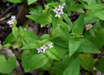 picture of Houstonia purpurea var. purpurea, image of Houstonia purpurea var. purpurea, photograph of Houstonia purpurea