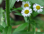 picture of Erigeron annuus, image of Erigeron annuus, photograph of Erigeron annuus