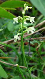 Small Green Wood Orchid