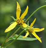 picture of Helianthus microcephalus, image of Helianthus microcephalus, photograph of Helianthus microcephalus