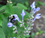 picture of Scutellaria incana var. punctata, image of Scutellaria incana var. punctata, photograph of Scutellaria incana