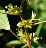 picture of Acalypha rhomboidea, image of Acalypha rhomboidea, photograph of Acalypha rhomboidea